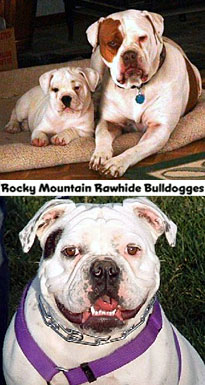 Registered Olde English Bulldogges