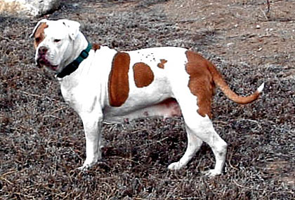 """Peaches"" from Rocky Mountain Rawhide Bulldogges"