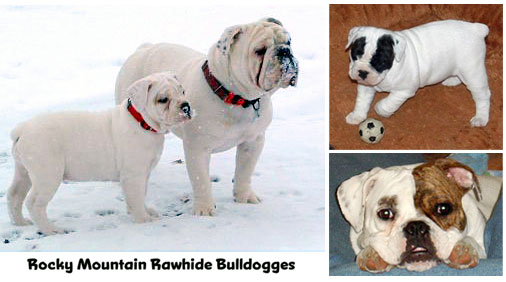 Olde English Bulldogges from Rocky Mountain Rawhide