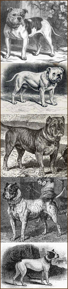 Vintage depictions of Olde Victorian Bulldogges from the era. Artists unknown.